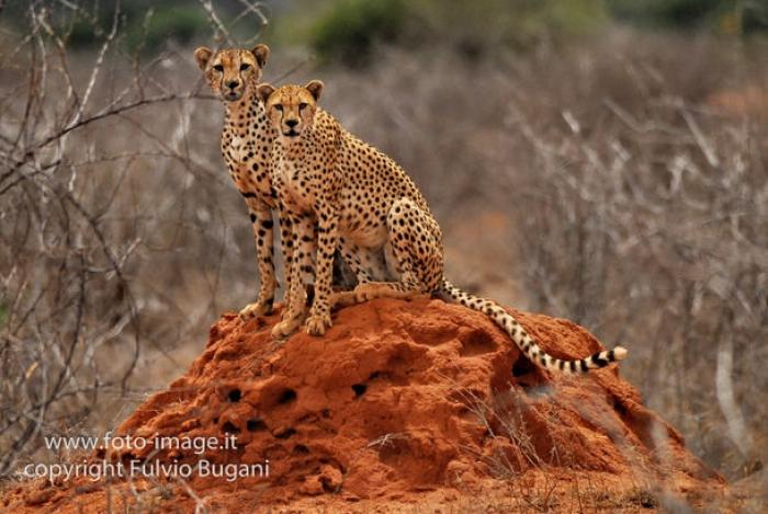 ghepardi allo tsavo national park in Kenia