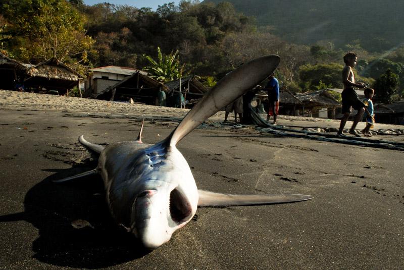 squalo spiaggiato a Lamalera