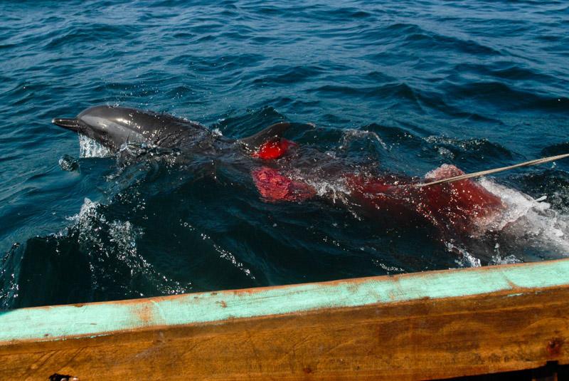 delfino arpionato Lamalera